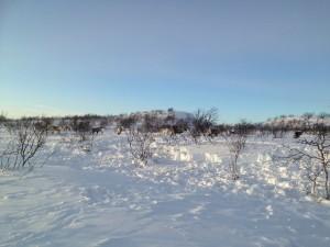 Reinflokk på vinterbeite på Finnmarksvidda.